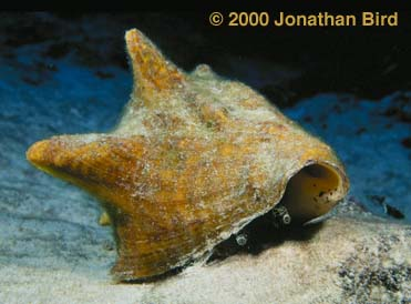 Queen Conch [Strombus gigas]