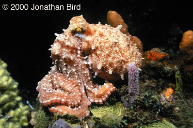 White Spotted Octopus [Octopus macropus]