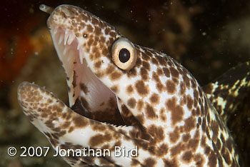 Spotted Moray eel [Gymnothorax moringa]
