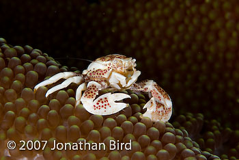 Spotted Porcelain Crab [Neopetrolisthes maculata]
