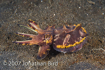 Flamboyant Cuttlefish [Metasepia pfefferi]