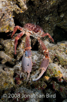 Reef Spider Crab [Mithrax spinosissimus]