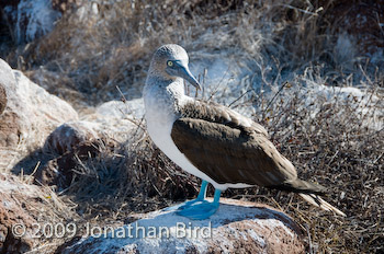 Blue-footed Booby [Sula nebouxii]