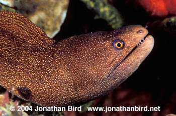 Goldentail Moray Eel [Gymnothorax militaris]