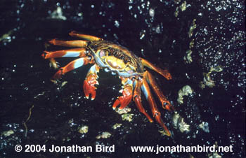 Sally Lightfoot Crab [Grapsus grapsus]