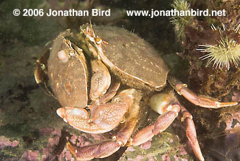 Rock Crab [Cancer irroratus]