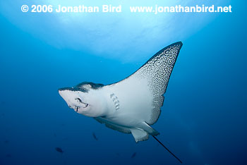Spotted Eagle Ray [Aetobatus narinari]